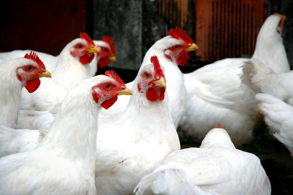 300,000 Chickens Killed By Attacks on Farm Alarm Systems