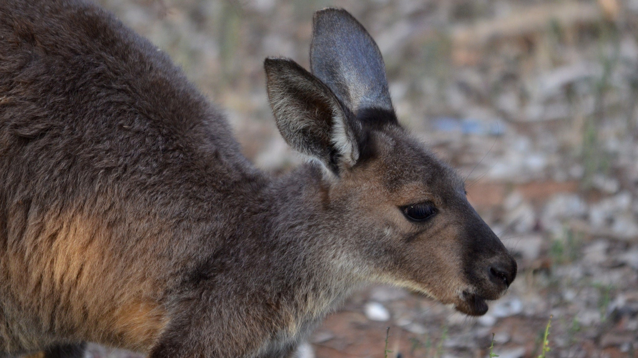 Australian Cops Perform CPR On Drowning Kangaroo