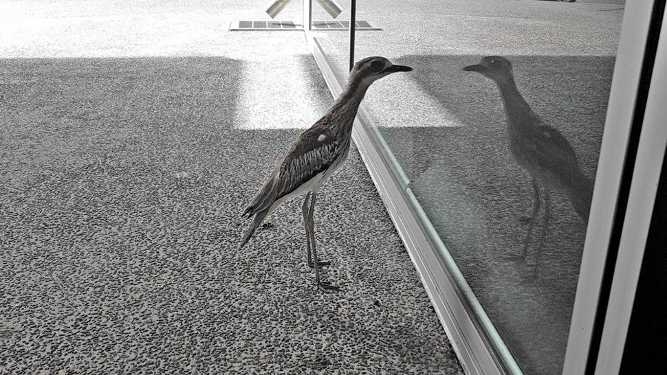 Why Scientists Think This Silly Australian Bird Can't Stop Looking At Its Reflection