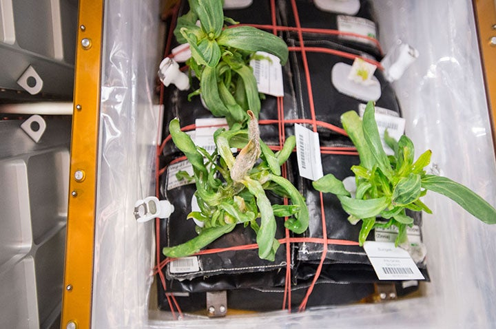 Astronauts Almost Killed Their First Flowers