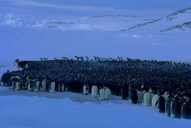 The Social Dynamics of Penguin Huddles Are More Complex Than We Thought
