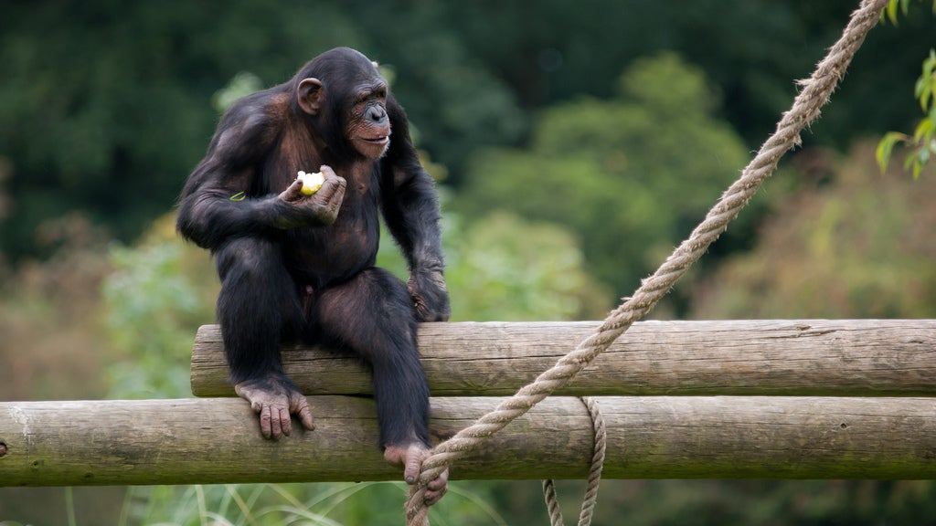 US Appeals Court Says Chimps Are Not Legal Persons, Here's Why They're Wrong