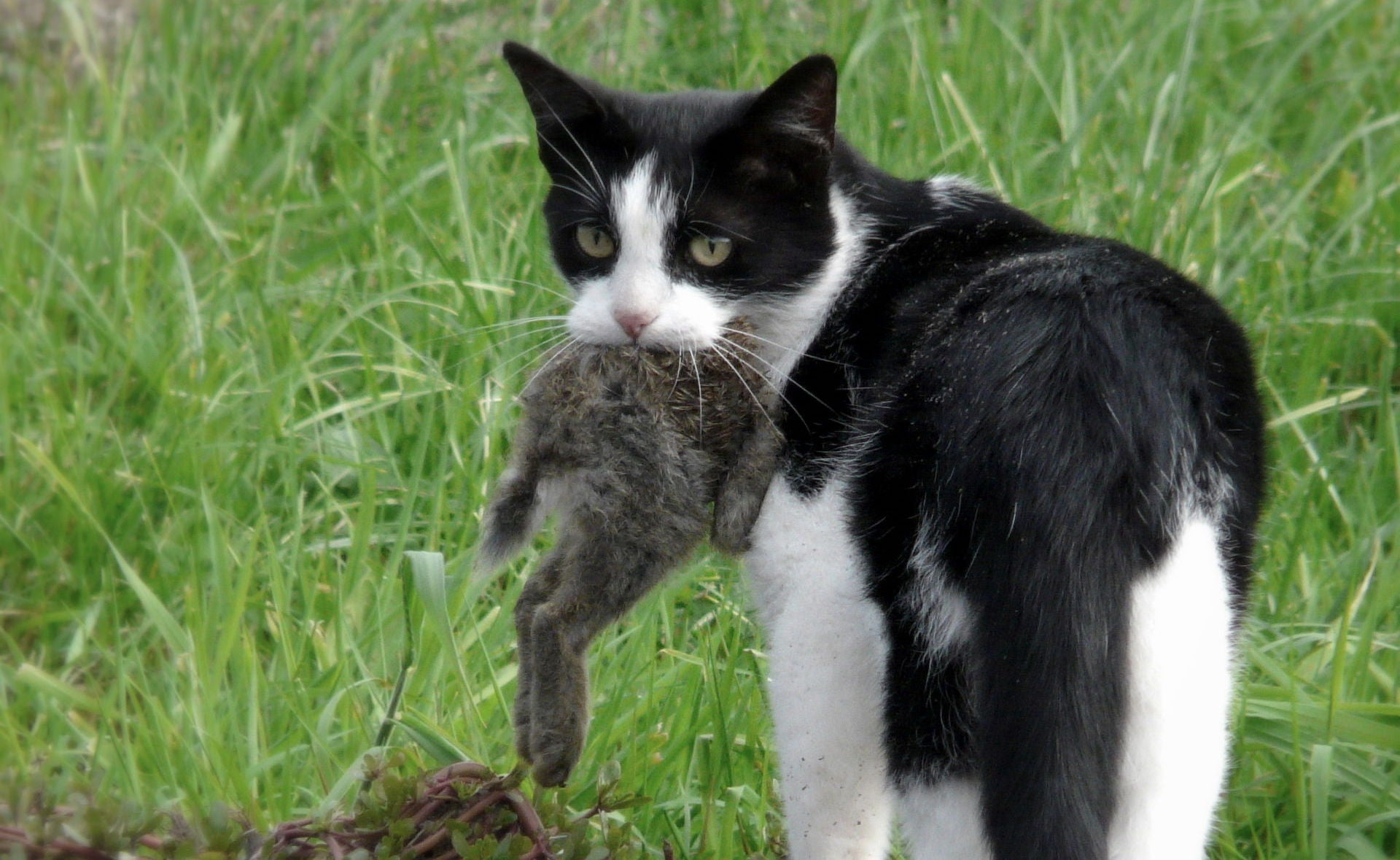 Australian Researchers Say Feral Cats Are An Ecological Disaster
