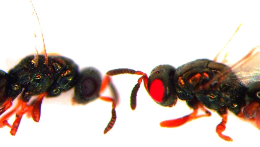Scientists Are Making Horrible Red-Eye Mutant Wasps Because Why The Hell Not