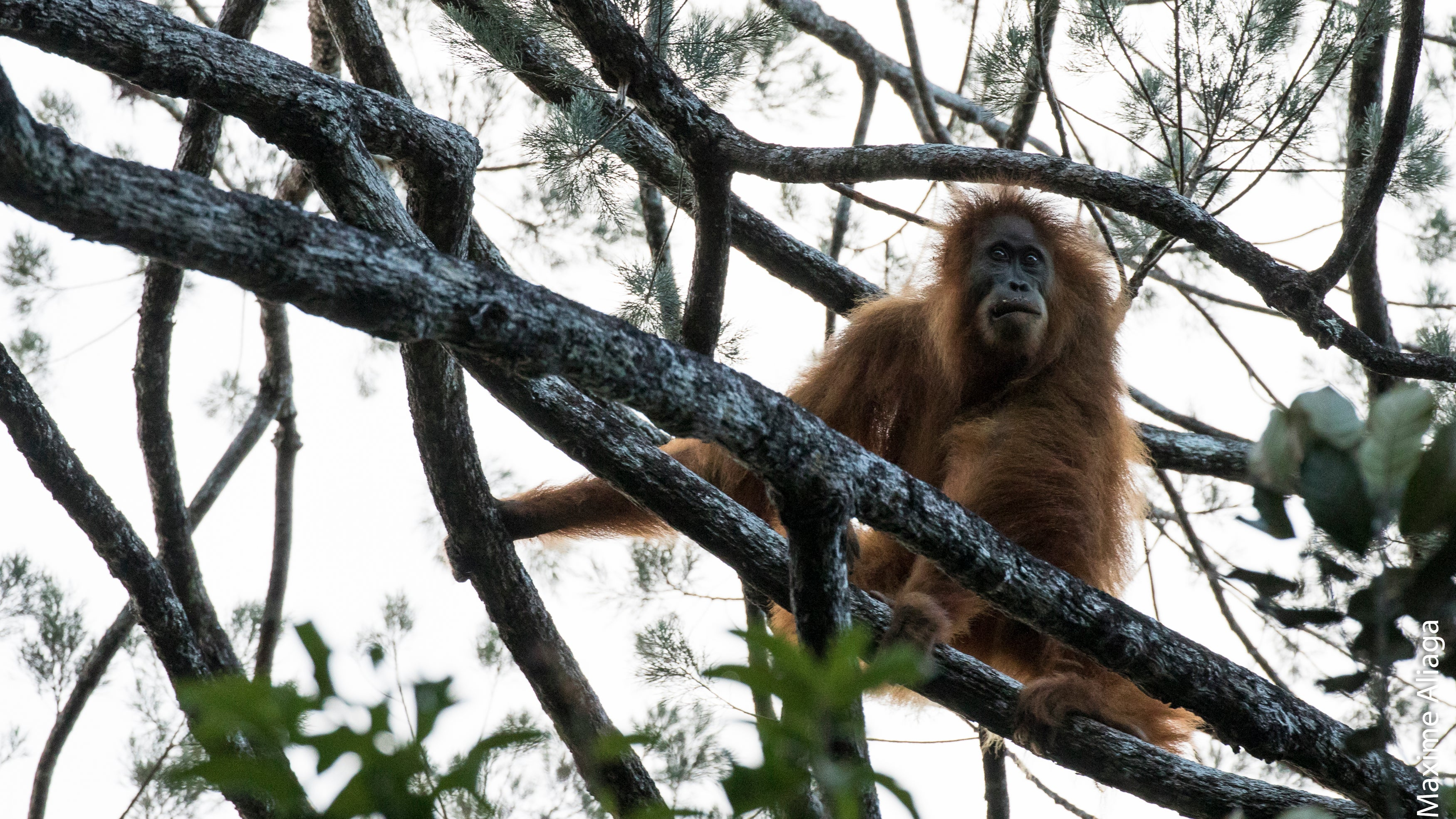 There's A New Species Of Orangutan And It's Already In Danger