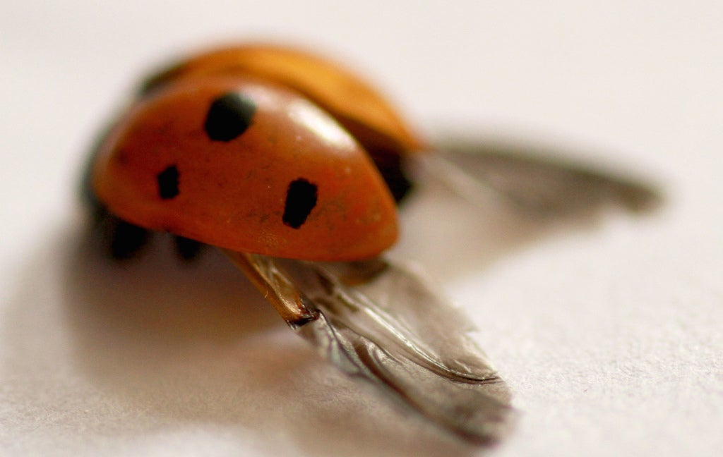 Your Umbrella May Be Getting An Upgrade Thanks To Ladybird Wings