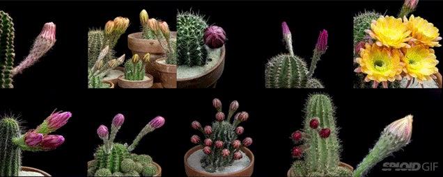 Seeing cactuses bloom flowers is like watching aliens grow tumours