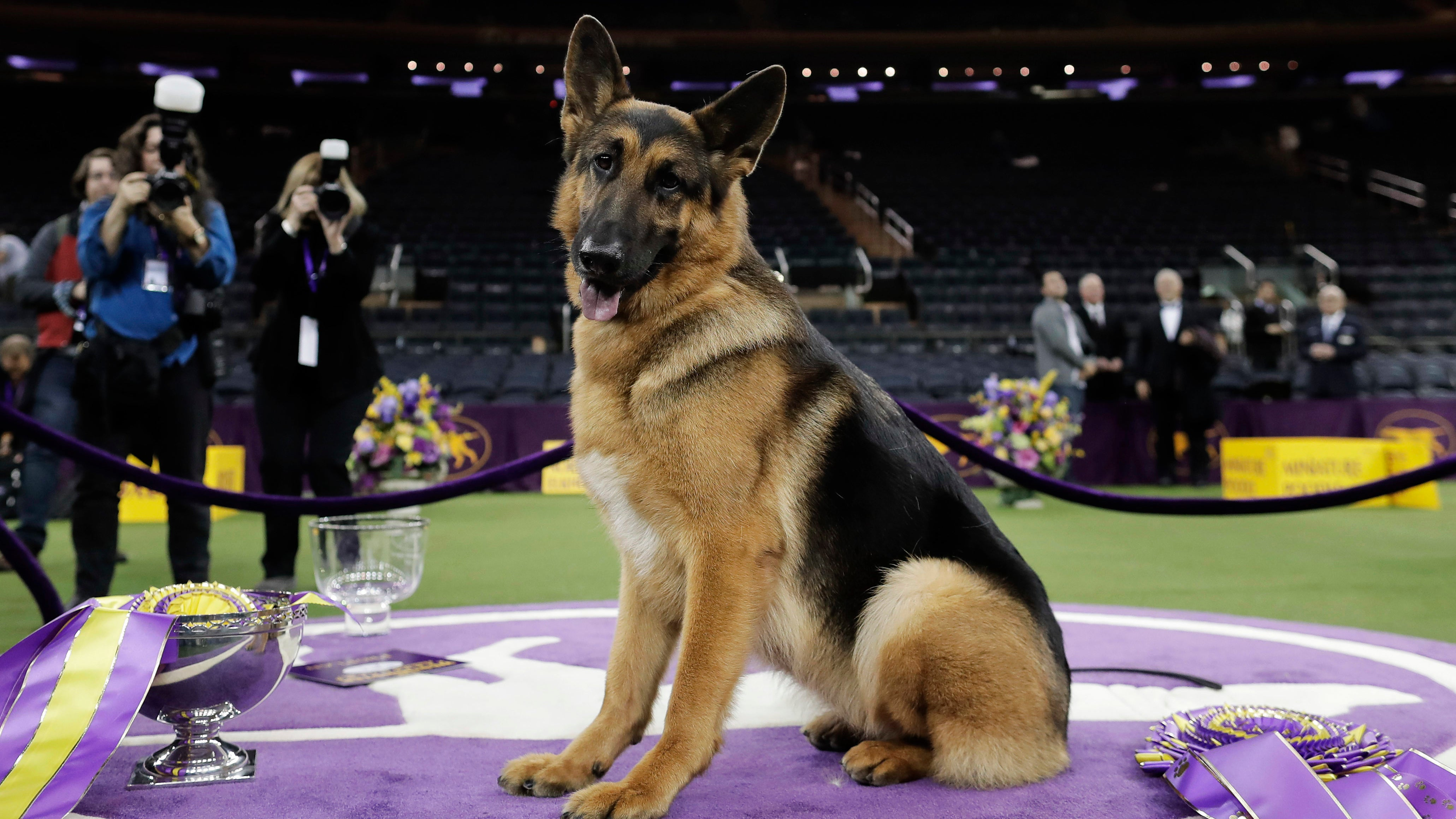 Unethical Breeding Is Creating Serious Health Problems For German Shepherds