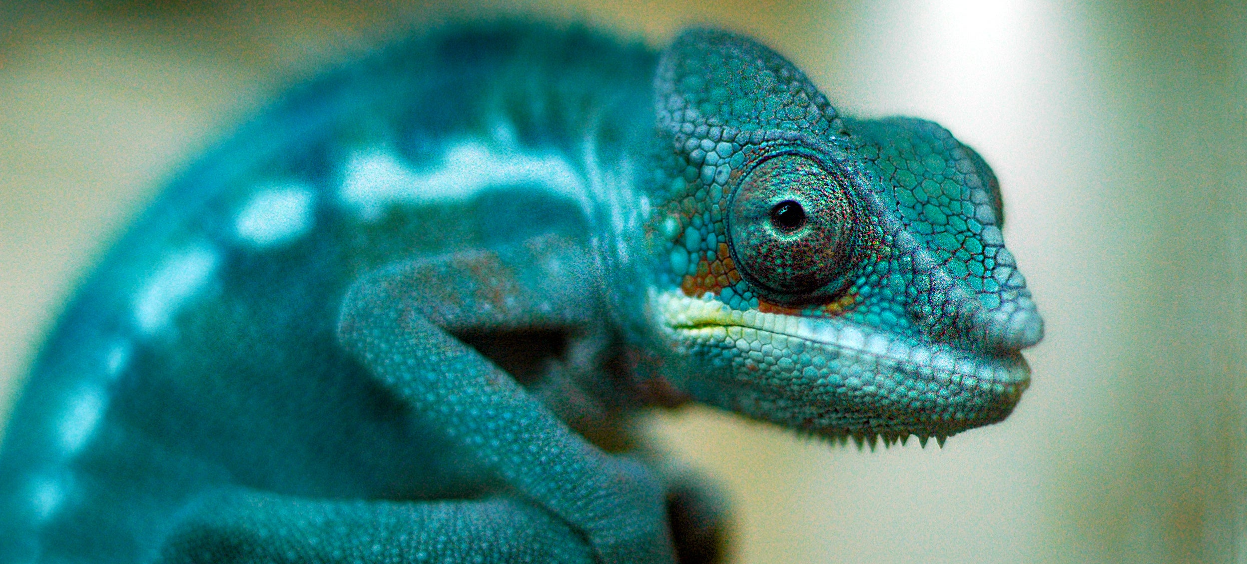 Scientists Have Worked Out How Chameleons Change Colour
