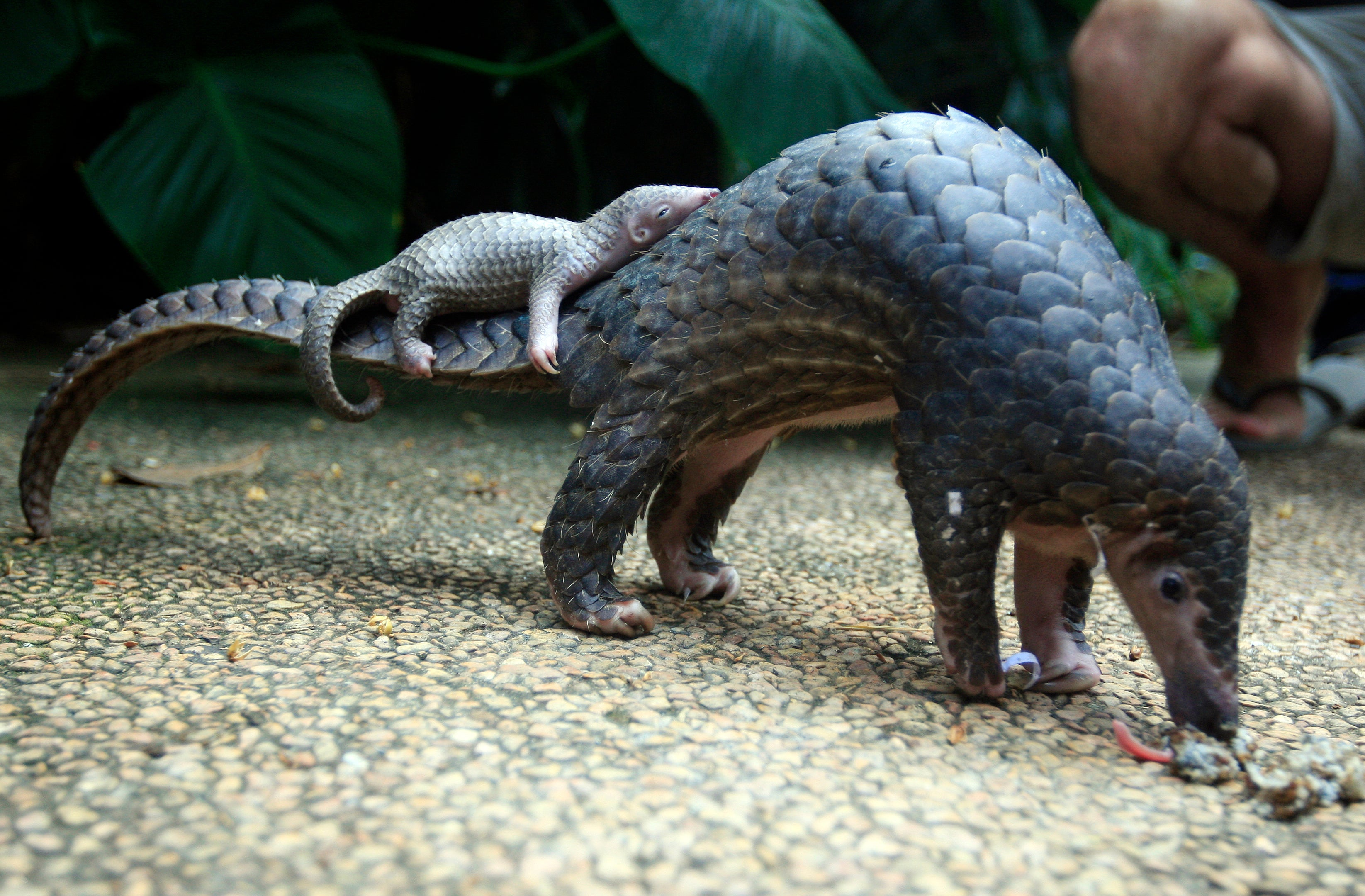 Chinese Officials Seize Record-Breaking Pangolin Haul From Poachers
