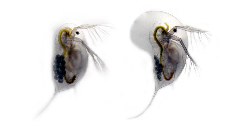 Water Fleas are the Real Transformers