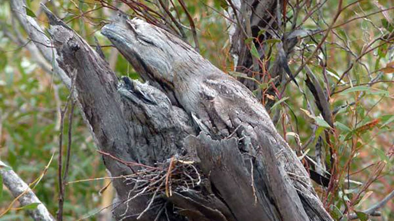 Can You Find The Australian Bird(s) In This Branch?