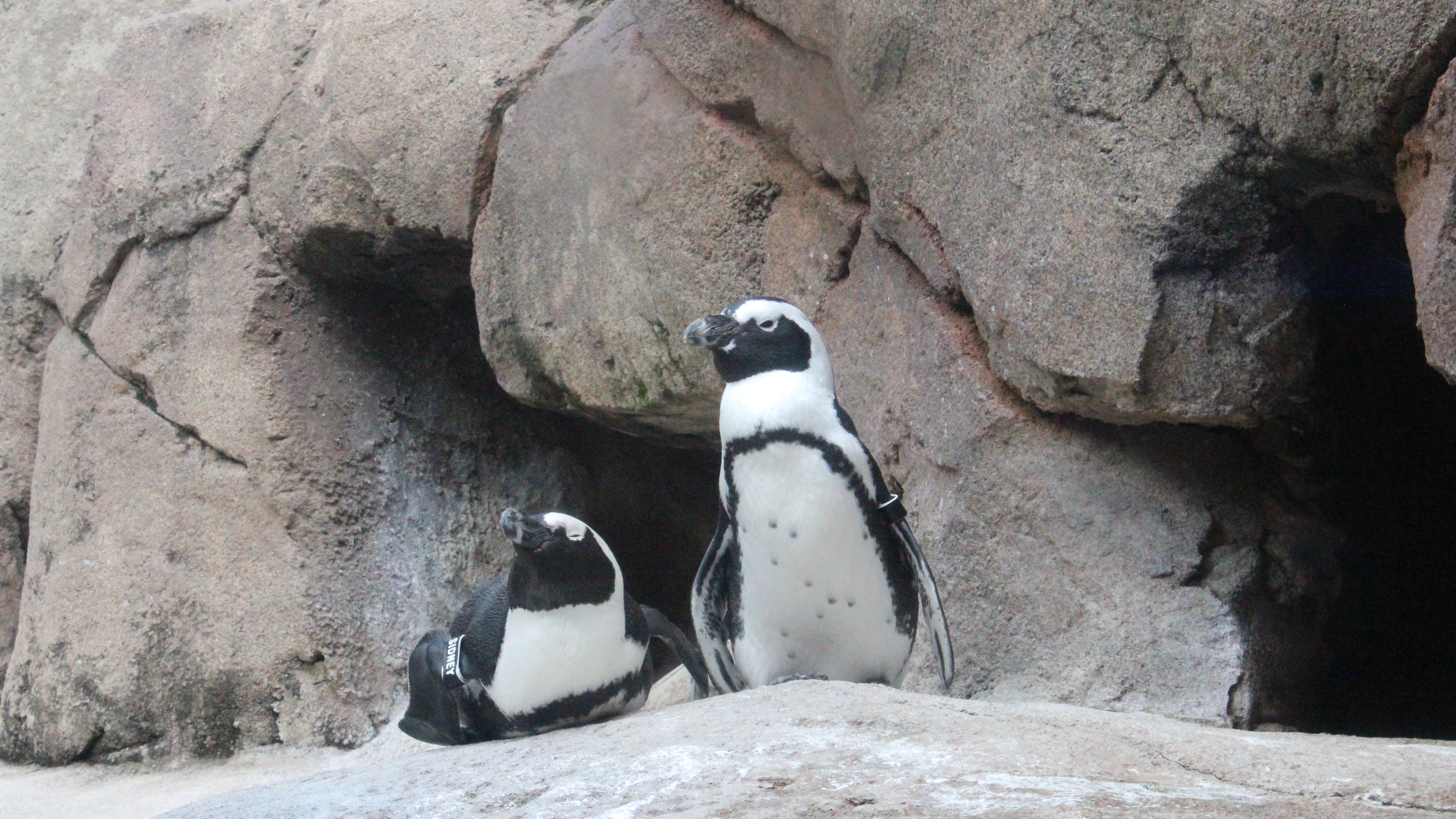 Two African Penguins Are About To Hatch And You Can Watch Live