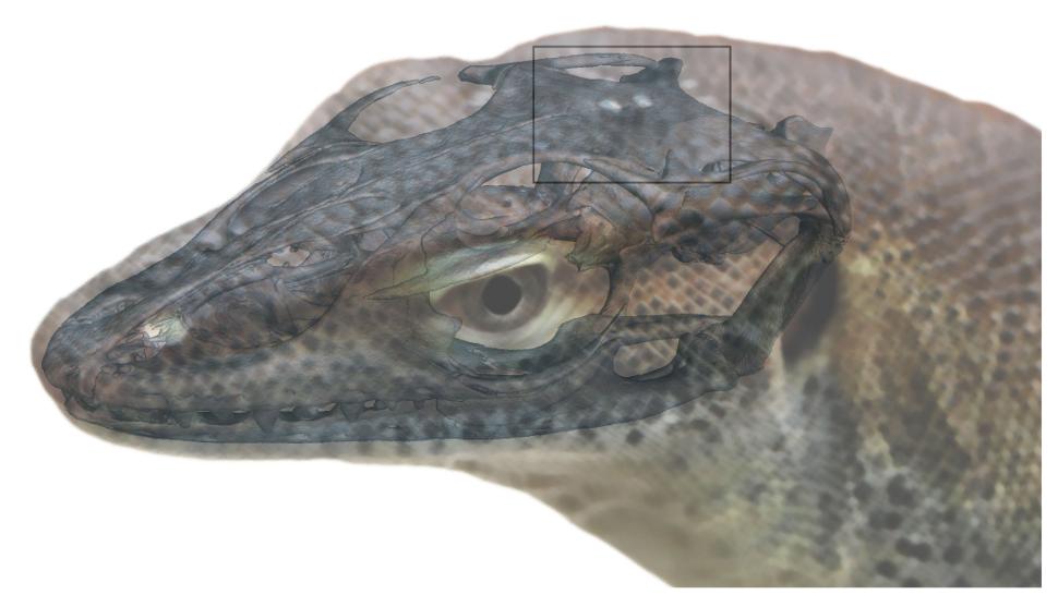 Freaky Ancient Lizard Had Four 'Eyes'