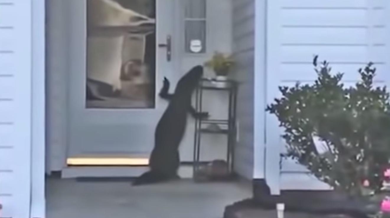 Odd-Looking Dog Attempts To Ring Homeowner's Doorbell