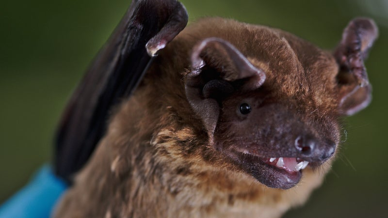 Migrating Bats Are Basically Flying Weather Stations