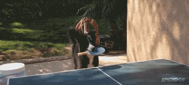 This dog is an extraordinary ping pong player