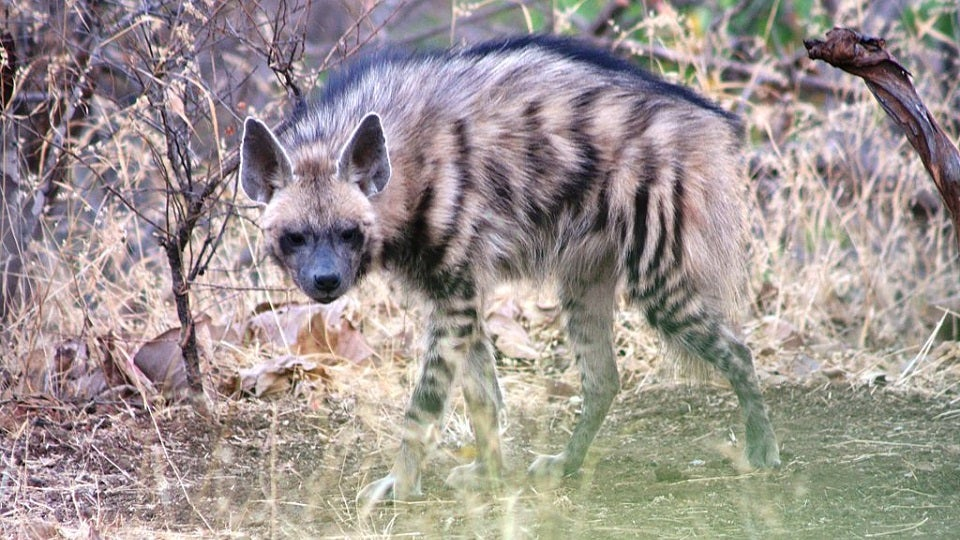 Hyenas and Wolves Are Teaming Up to Survive