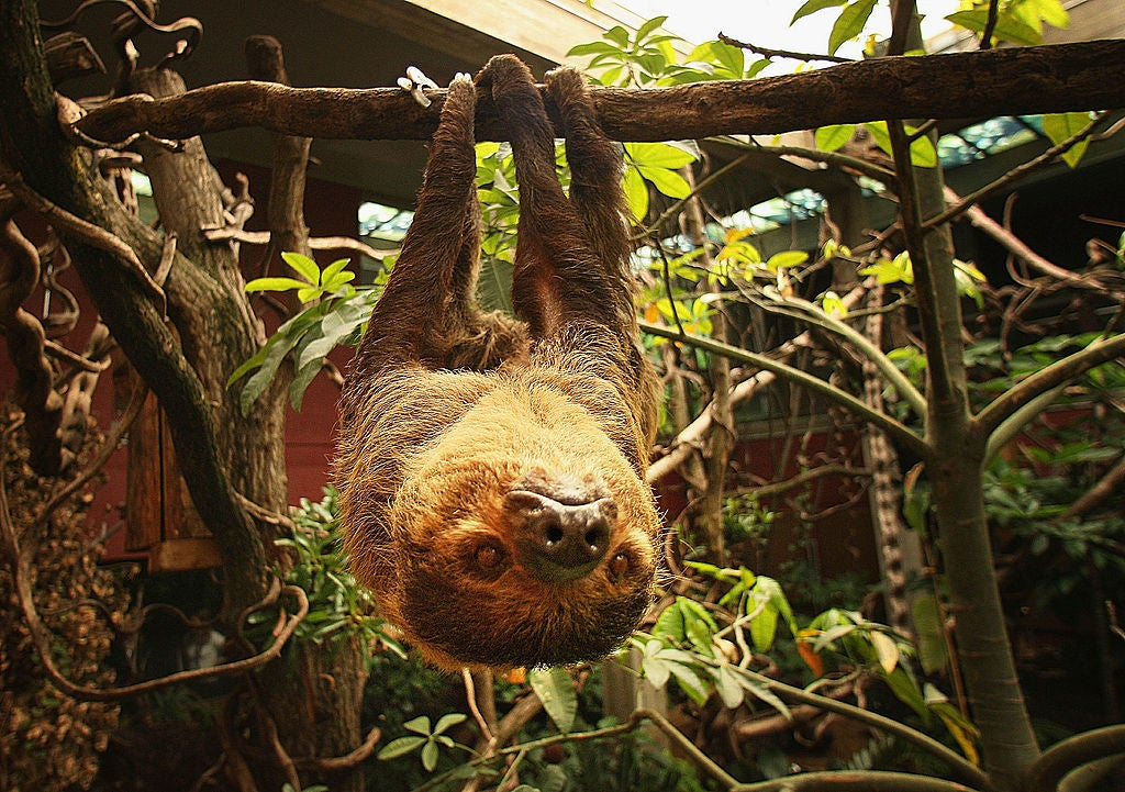 There's A Reasonable Explanation As To Why This Sloth Won't Move