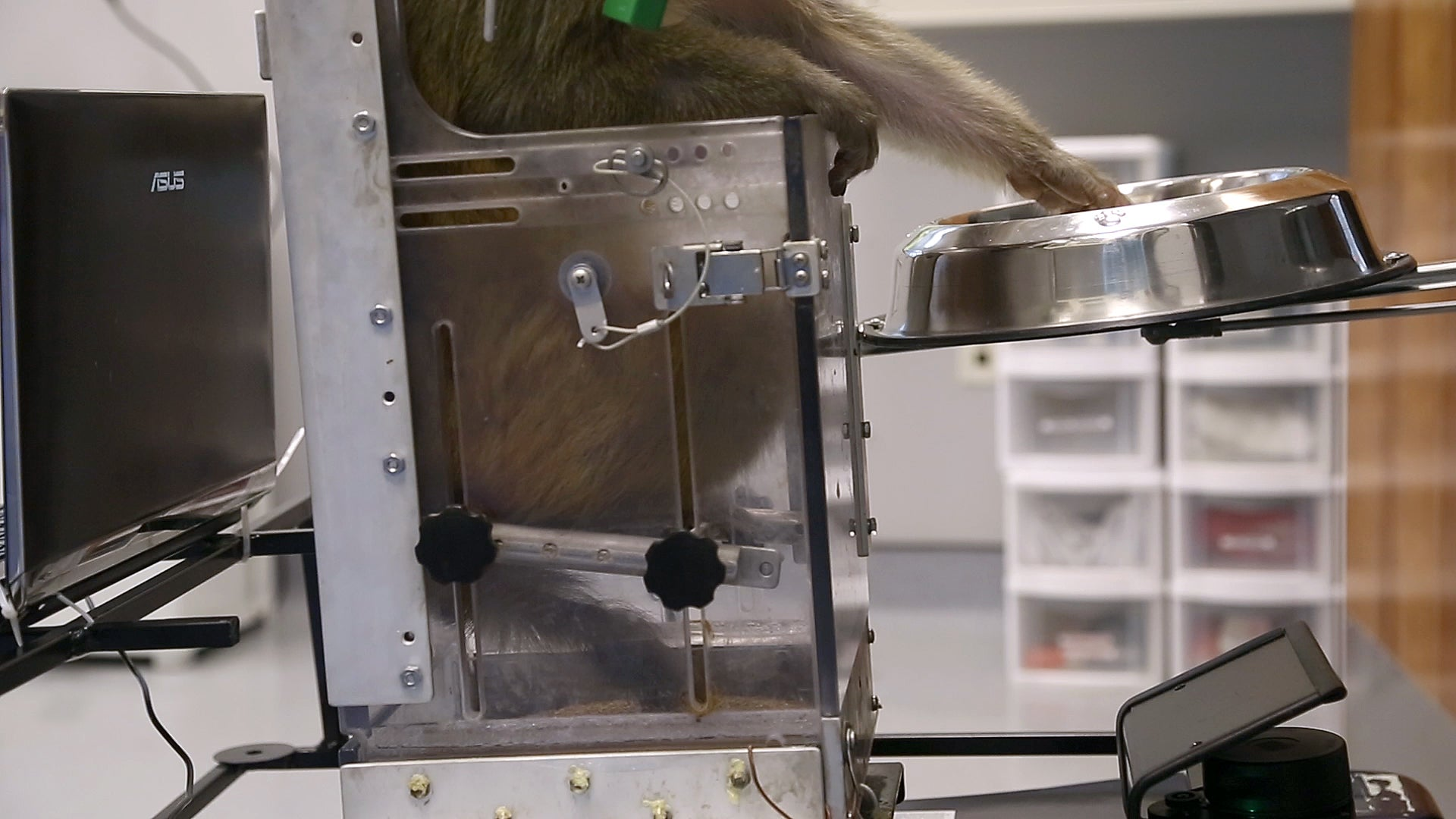 This Monkey is Controlling a Wheelchair With its Mind