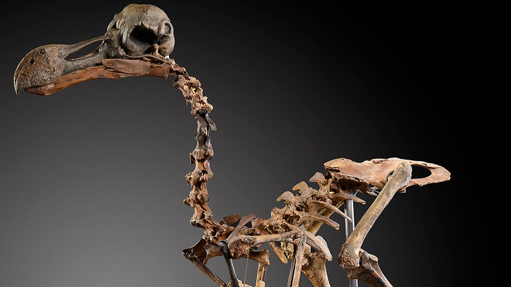 This Priceless Dodo Skeleton Took 40 Years To Assemble