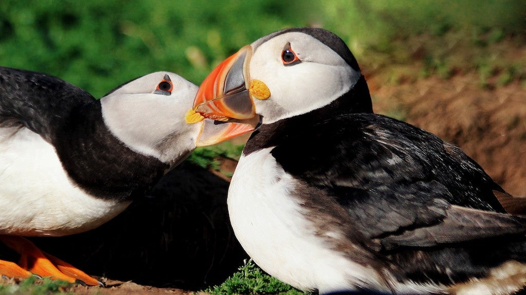Lady Puffins Basically Holding Everything Together In Puffin Marriages