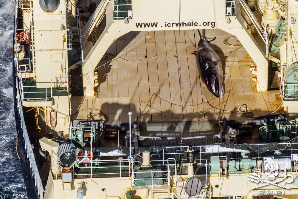 Japanese Fleet Slaughters 333 Whales In The Name Of 'Science'