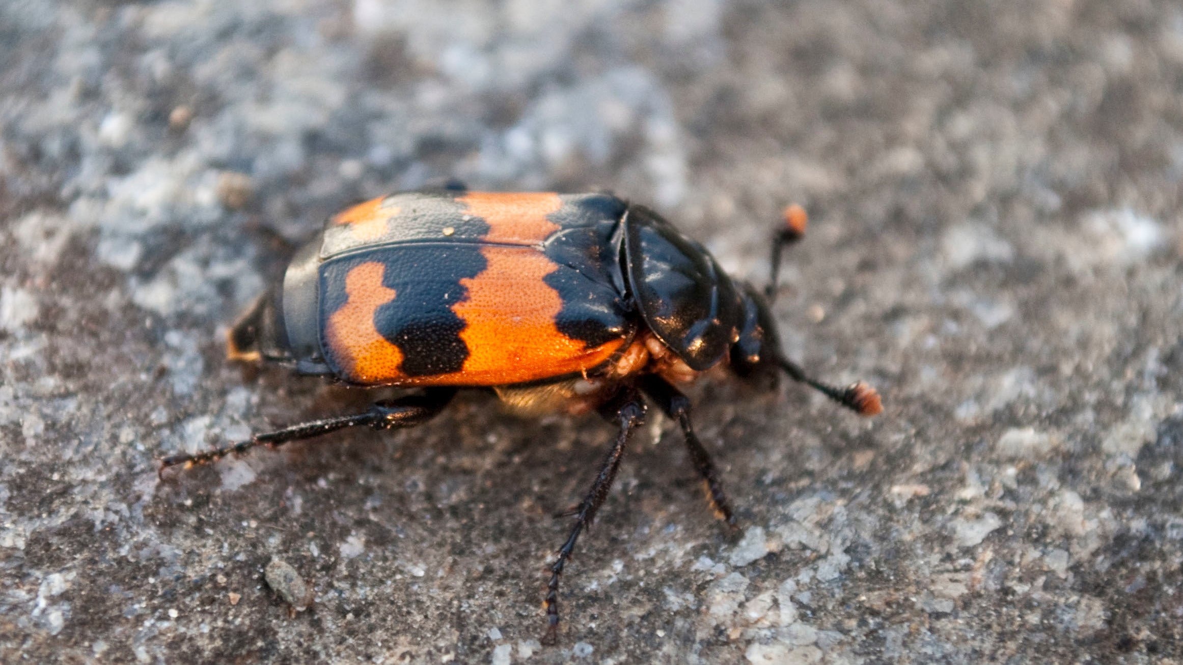 Burying Beetles' Embalming Butt Juice Is Even Worse Than It Sounds