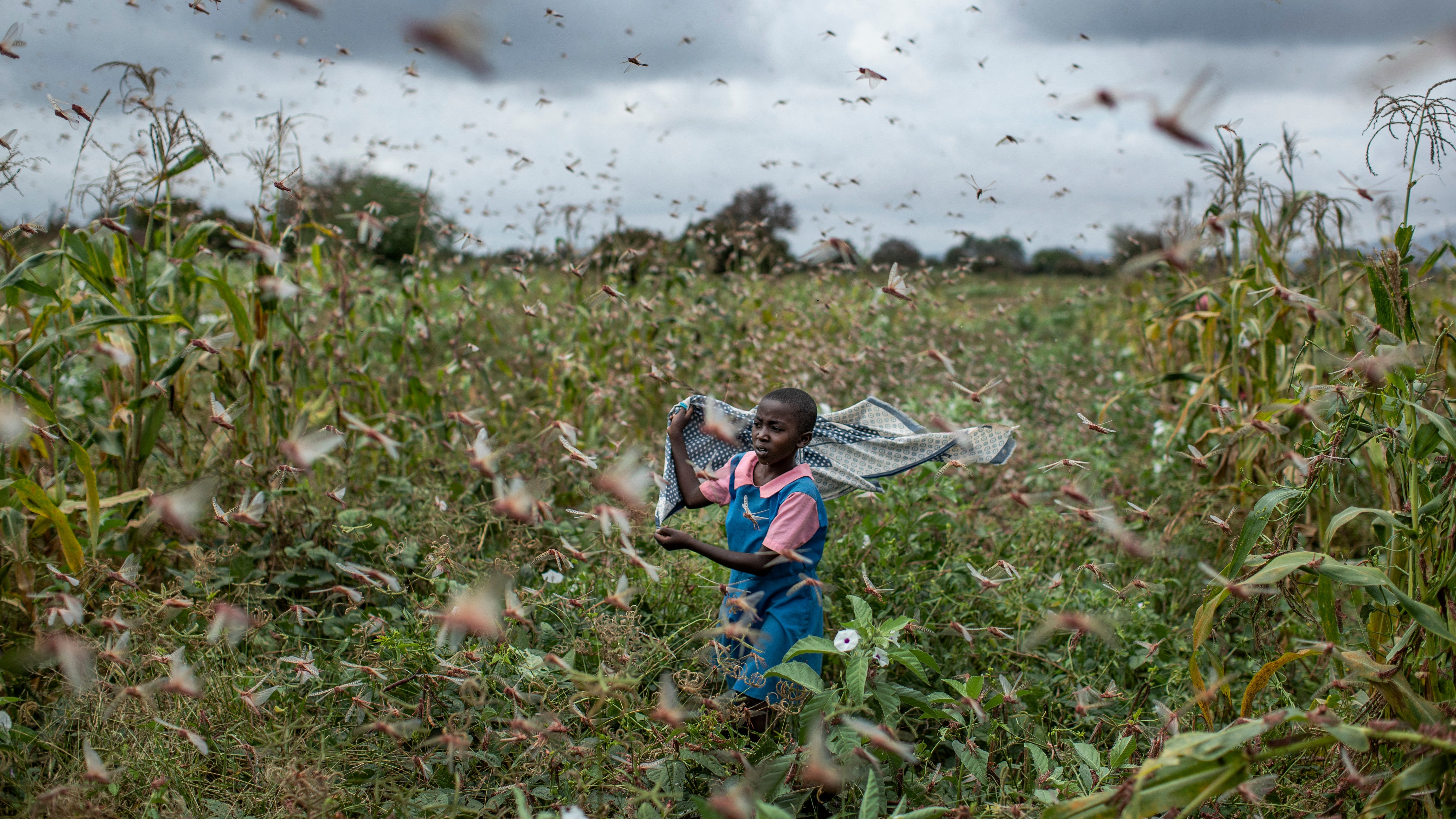 The Climate Crisis May Have Helped Spawn Massive Locust Swarms In East Africa