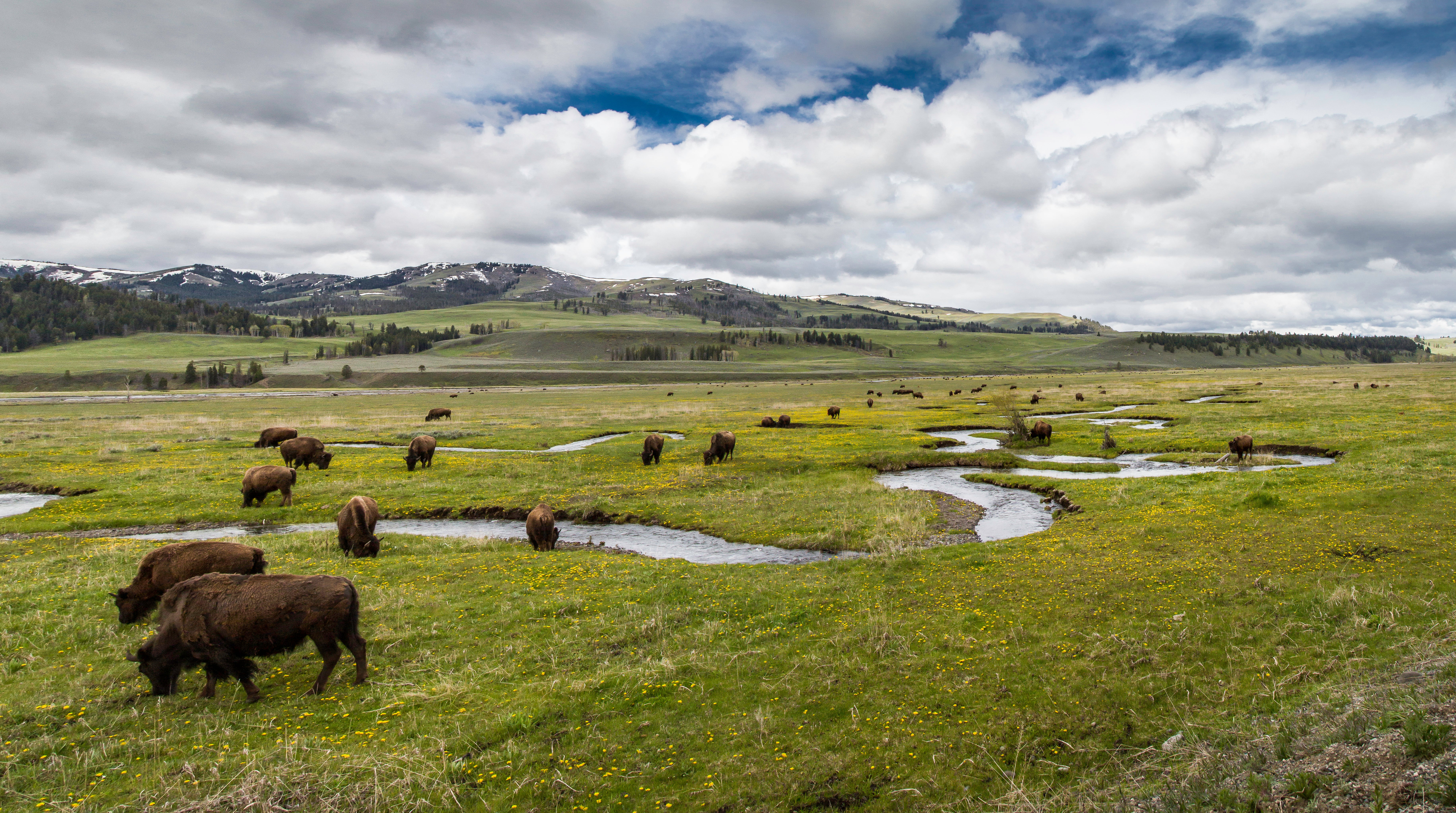 The North American Bison Will Soon Be the US National Mammal