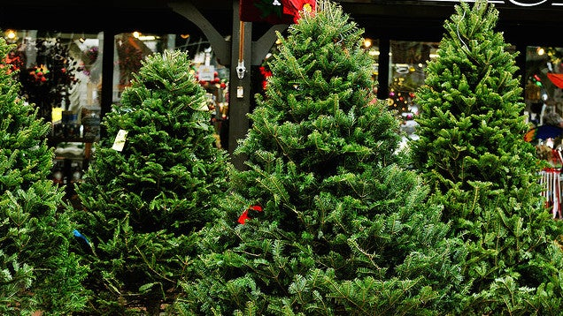 Check Your Christmas Tree Needles Before You Buy to Get a Fresh Tree