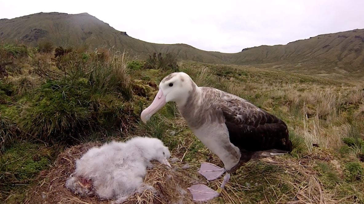 Coronavirus Thwarts Rescue Of Endangered Albatrosses Menaced By Giant Mice