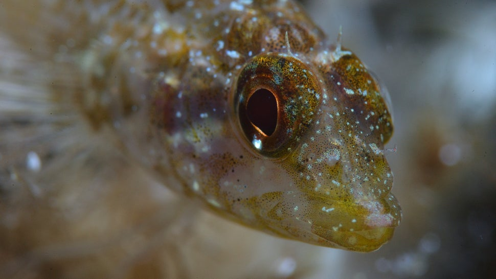 These Freaky Fish Can Turn Their Eyes Into Torches
