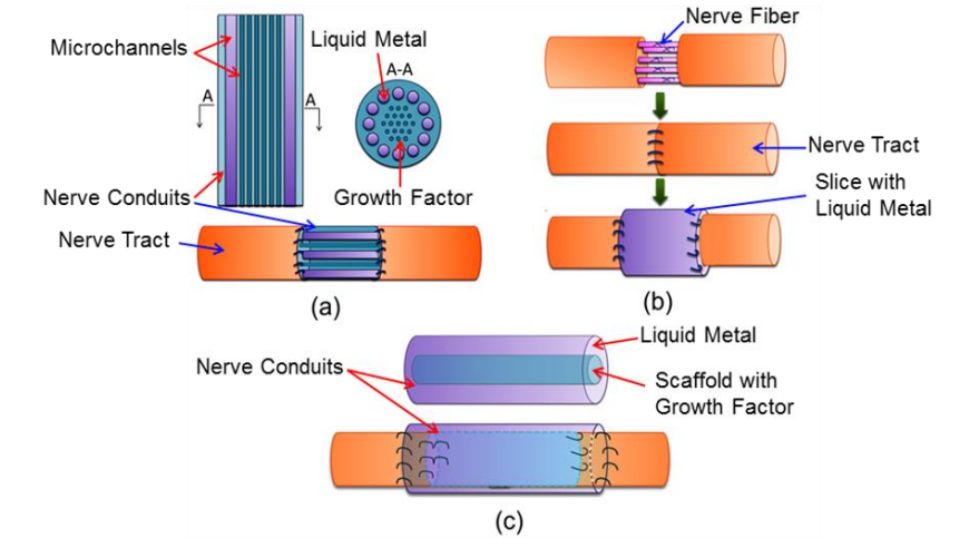Scientists Have Reconnected Severed Nerves with Liquid Metal