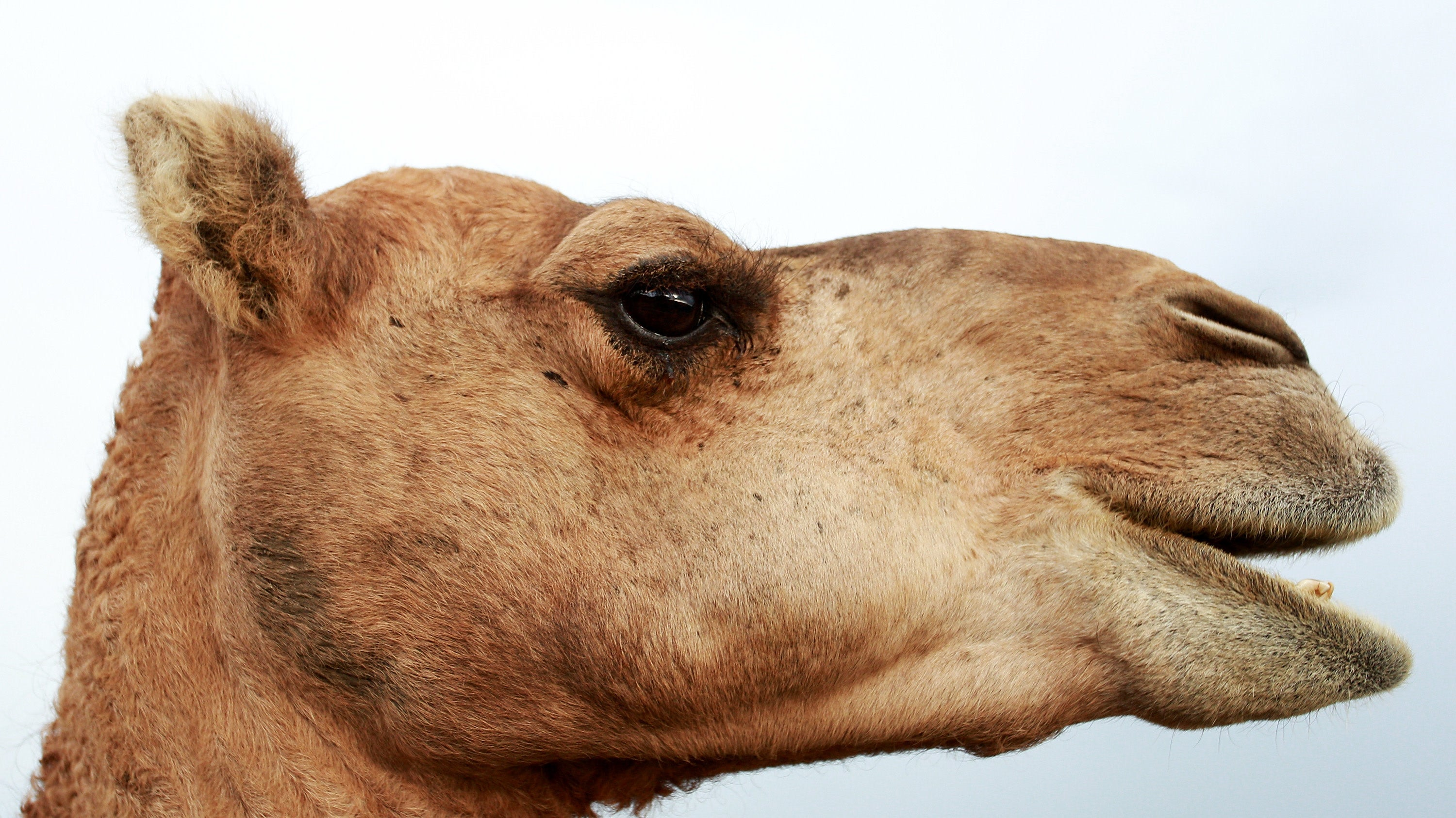 The Latest Victims Of Australia's Record Drought: 10,000 Feral Camels