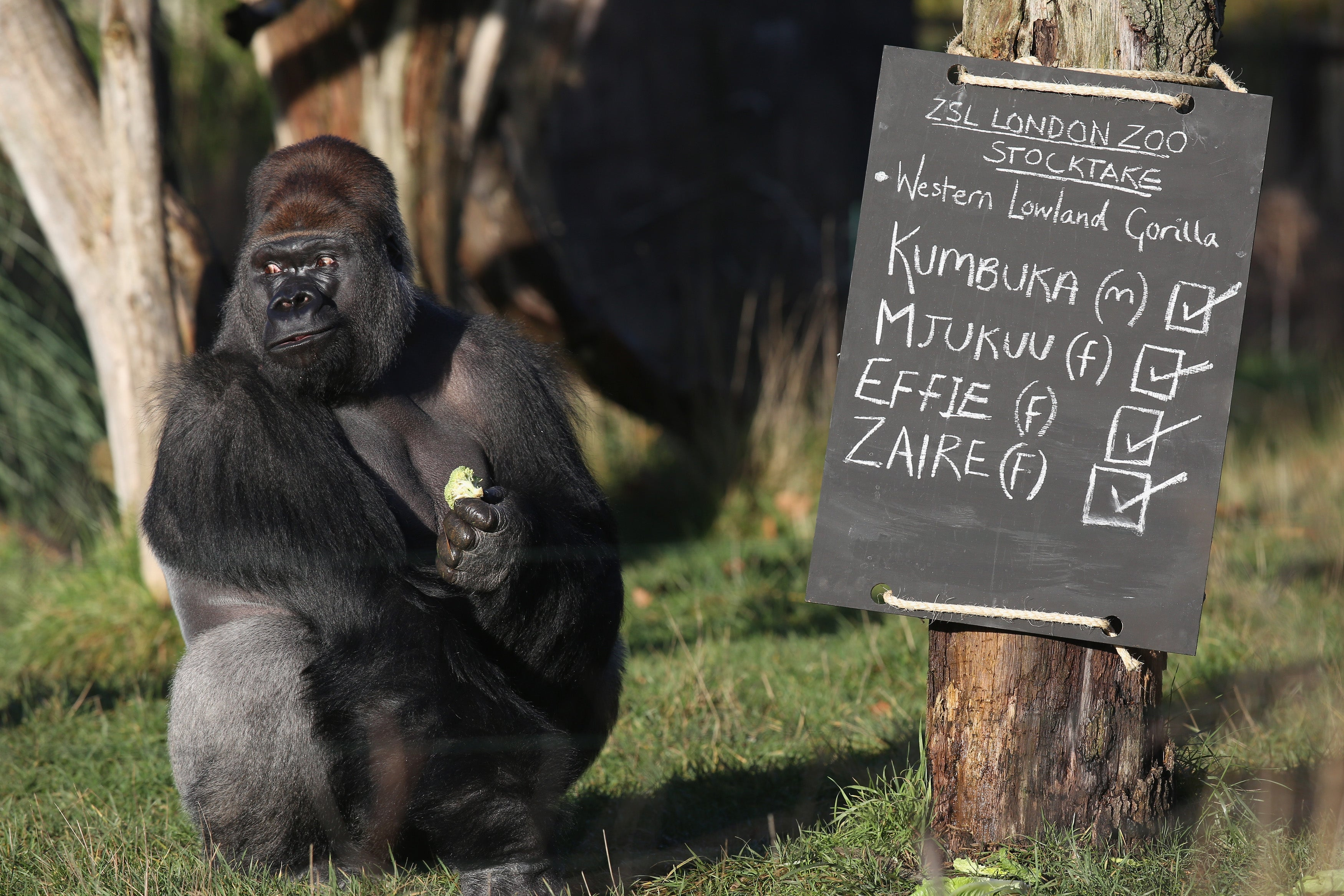 There Was A Gorilla On The Loose At The London Zoo