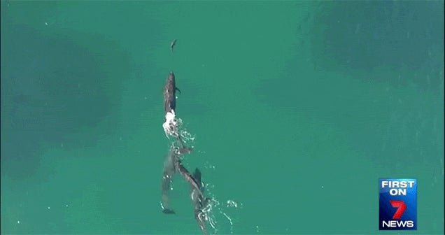 Drone Footage Shows a Pod of Dolphins Hunting a Shark