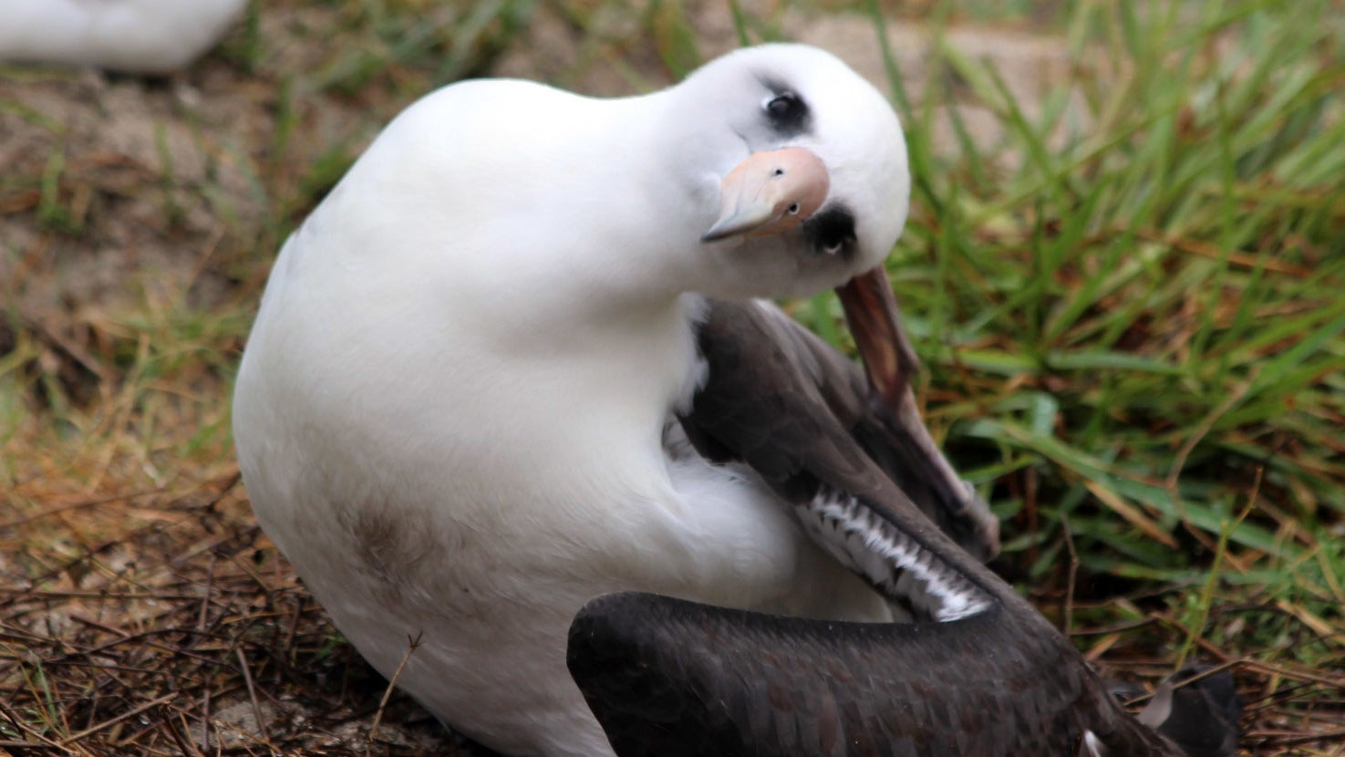 World's Oldest Wild Bird, Now 68, Still Fucks And She Has The Baby To Prove It