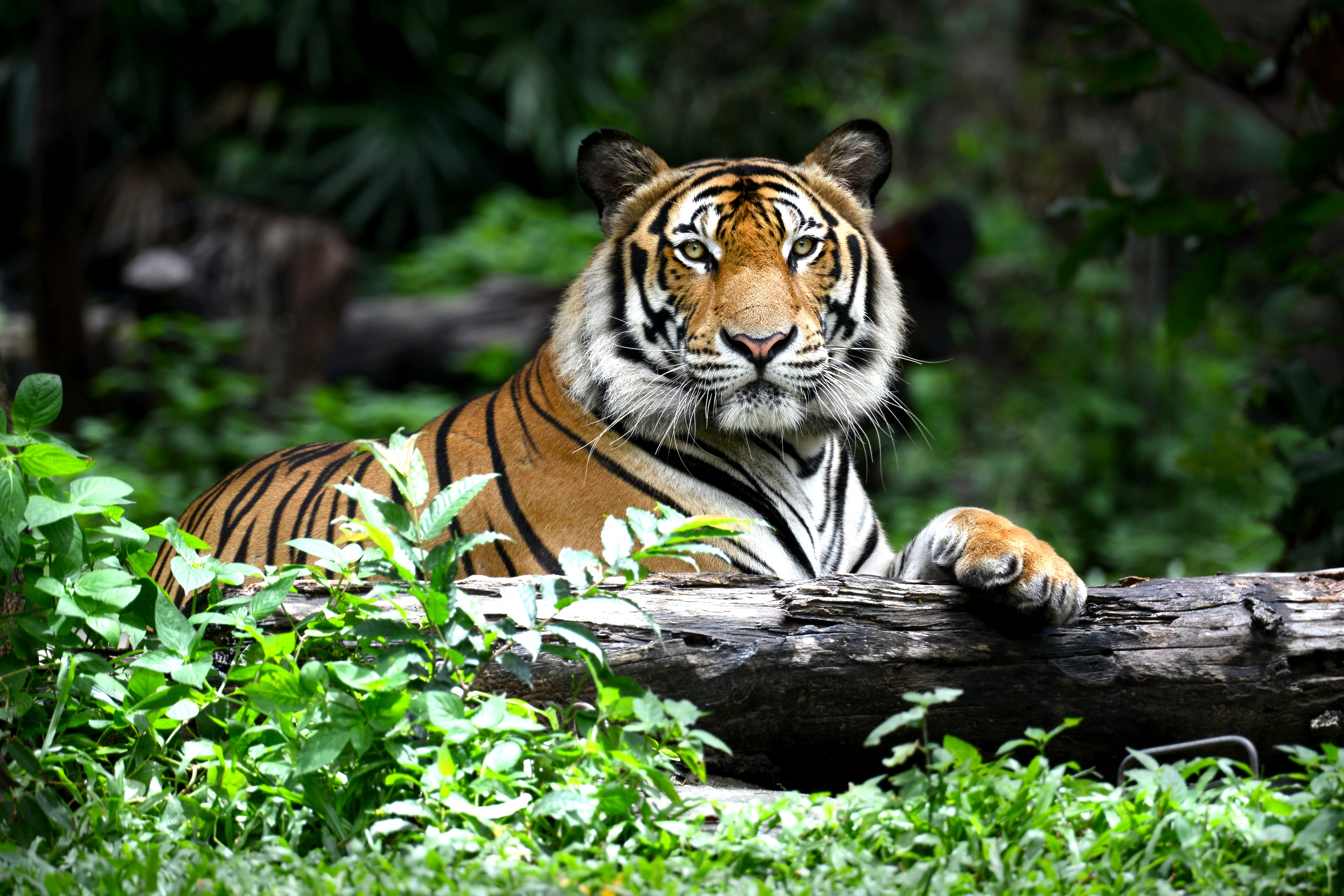 For the First Time In A Century, Wild Tiger Populations Are Beginning to Rebound