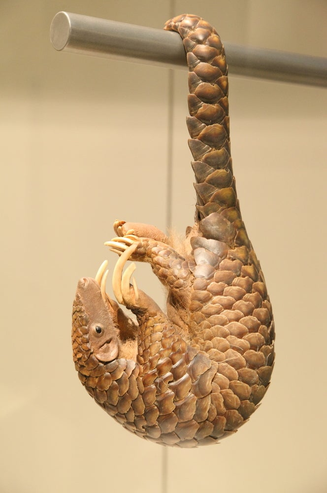 Pangolins Earth S Most Beautiful And Trafficked Creatures