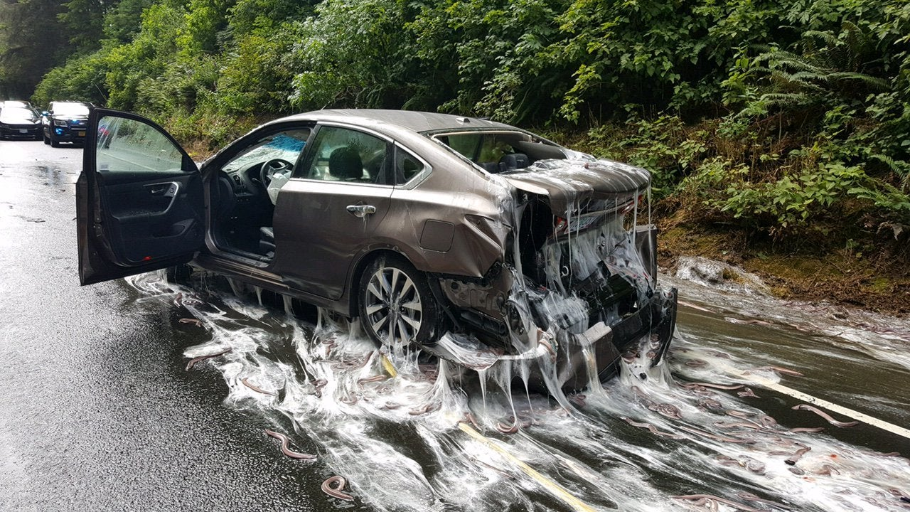 Stomach-turning spill leaves 7500 pounds of 'slime eels' on highway