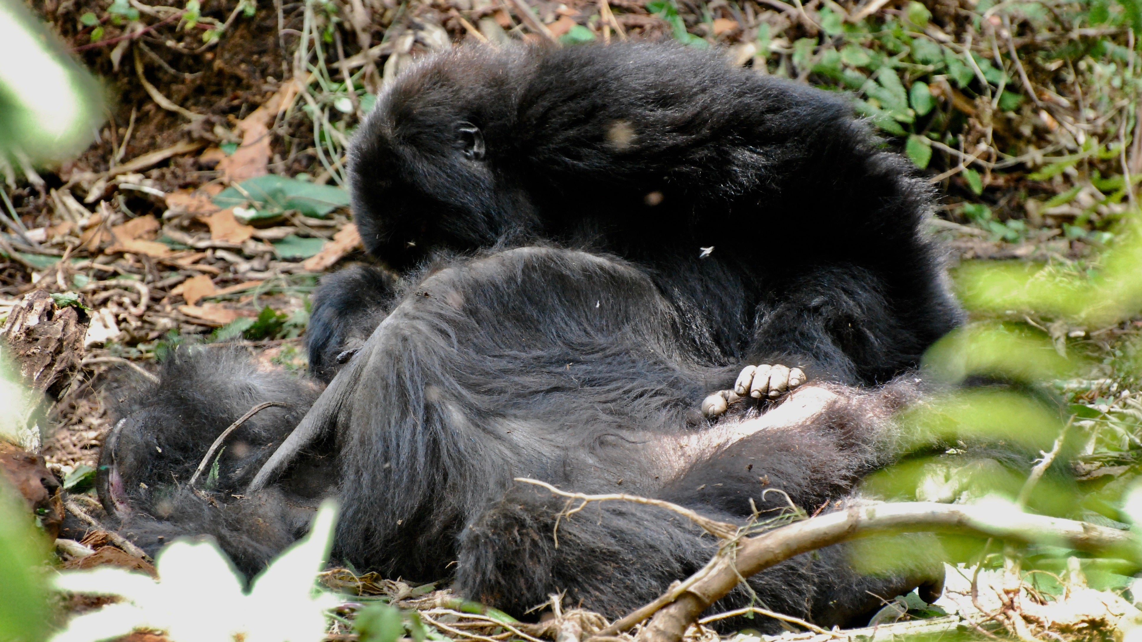 Heartbreaking New Observations Suggest Gorillas May Grieve For Their Dead