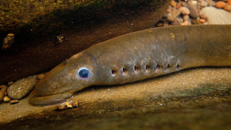 Michigan Will Use Biopesticides to Wipe Out Lampreys En Masse
