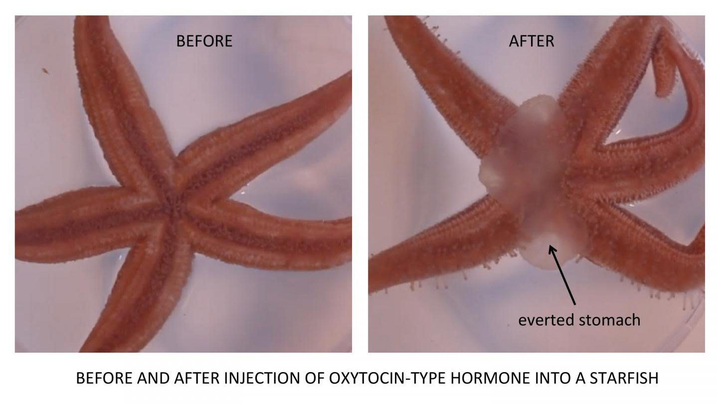 The 'Love Hormone' Helps Some Starfish Turn Their Stomach Inside Out To Eat
