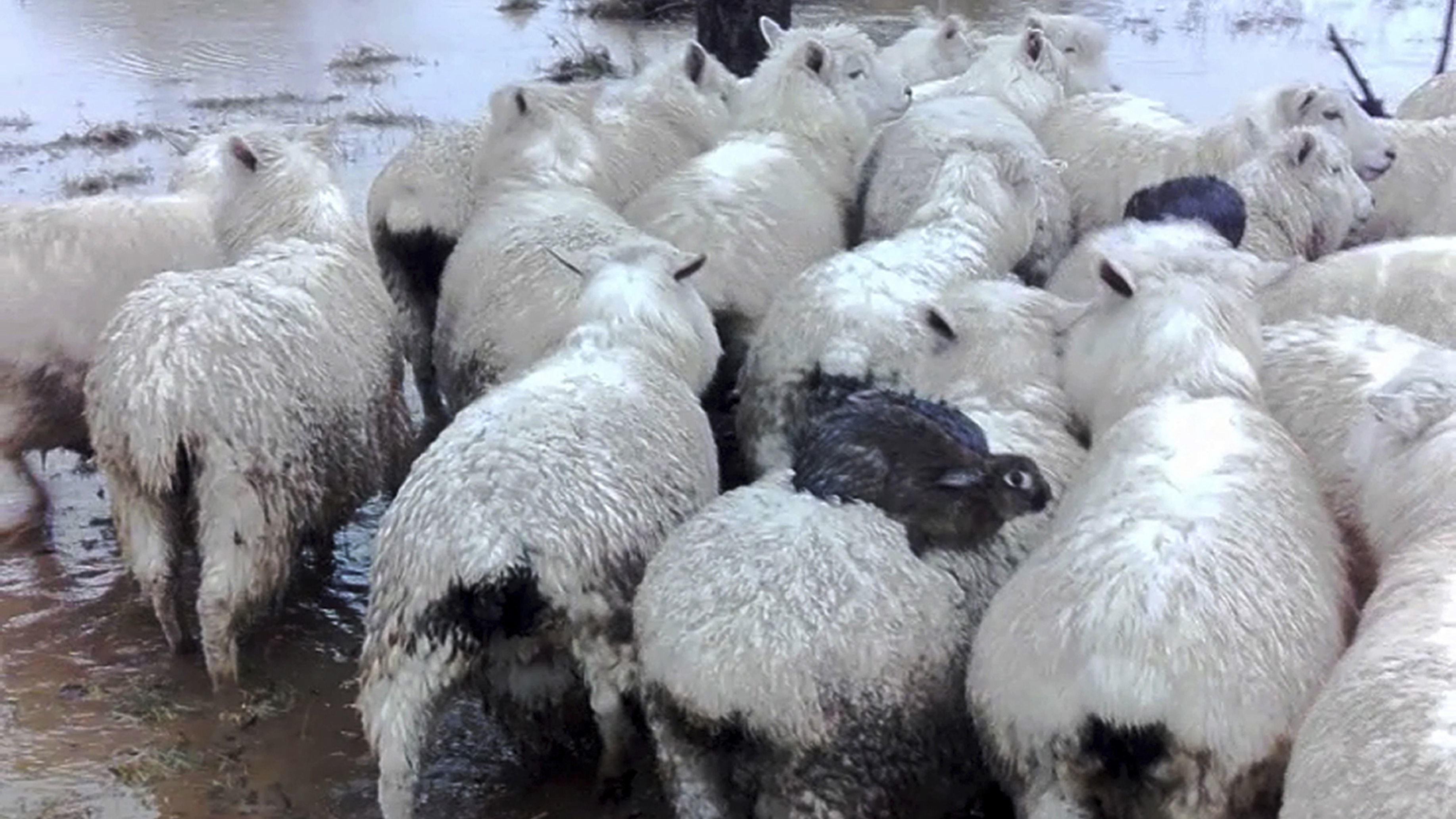 Wild Rabbits Caught Hitchhiking On Sheep To Escape Flood