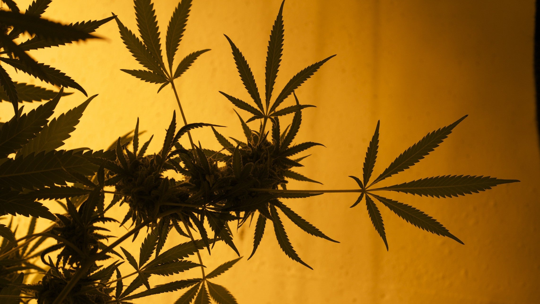 Too Much Weed Can Cause Nausea And Vomiting