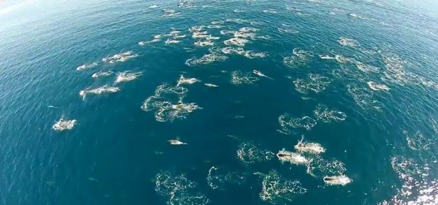 Impressive video of a massive dolphin stampede (and whales too!)