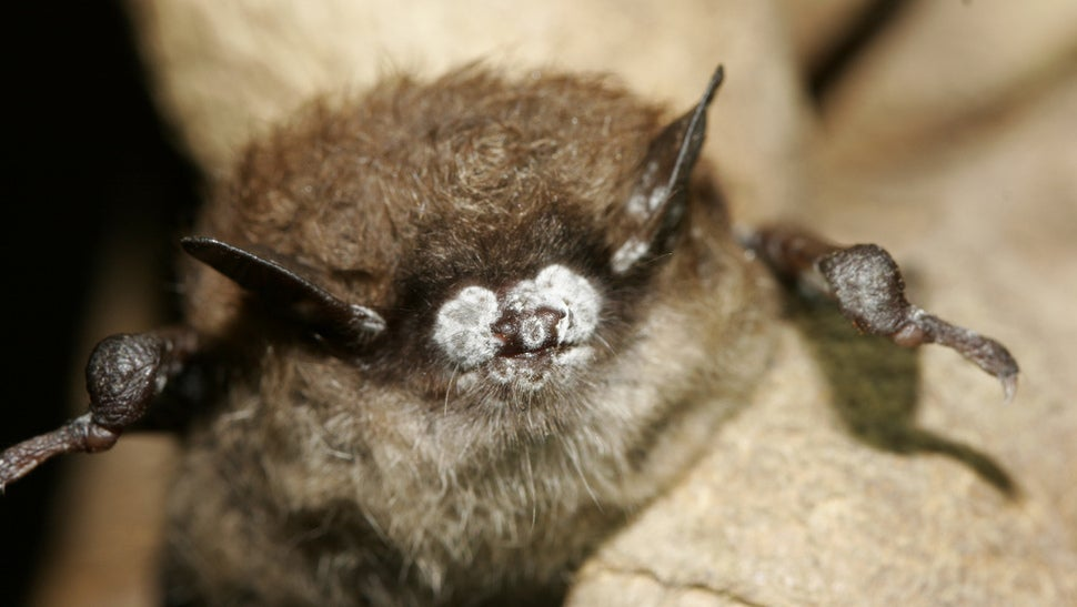 An Awful Bat-Killing Disease Is Spreading Throughout The US