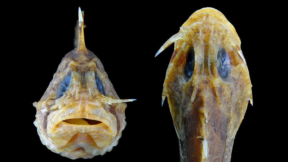 This Bizarre Fish Hides A Nasty Switchblade On Its Cheek