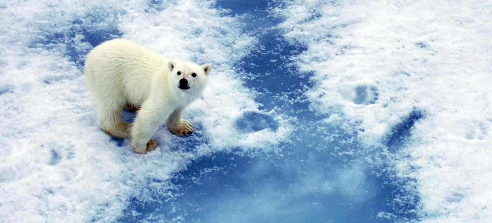 Polar bears can communicate via footprints